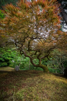 Maple Tree at Portland Japanese Gardens-19683157072